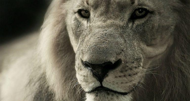 ¿El león es el felino más grande?