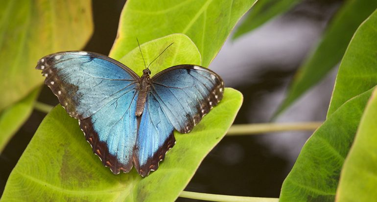 ¿En dónde tienen los oídos las mariposas?