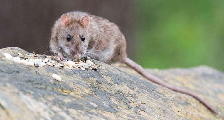 ¿En qué lugar del mundo no hay ratas?