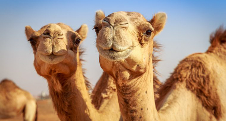 ¿En qué país habitan más camellos en el mundo?