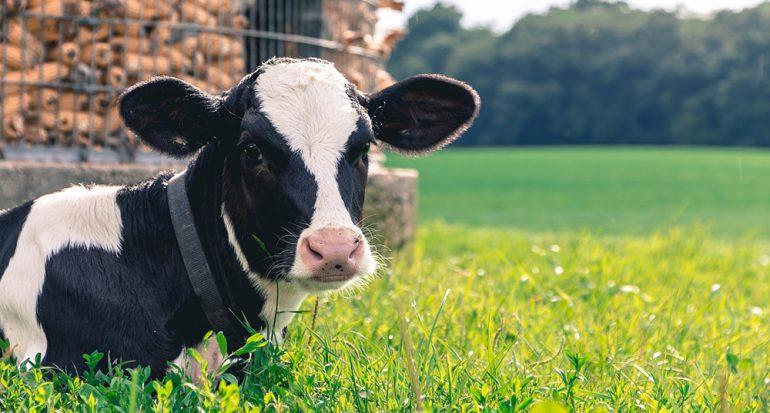 ¿En qué país latino hay más vacas que personas?