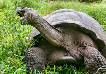 ¿Están comiendo lo adecuado las tortugas de las Galápagos?