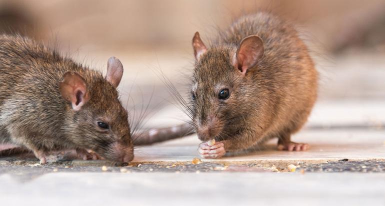 ¿Hace cuánto llegaron las ratas a Nueva York?