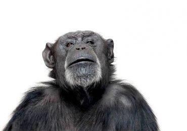 ¿Intercambian los chimpancés comida por sexo?