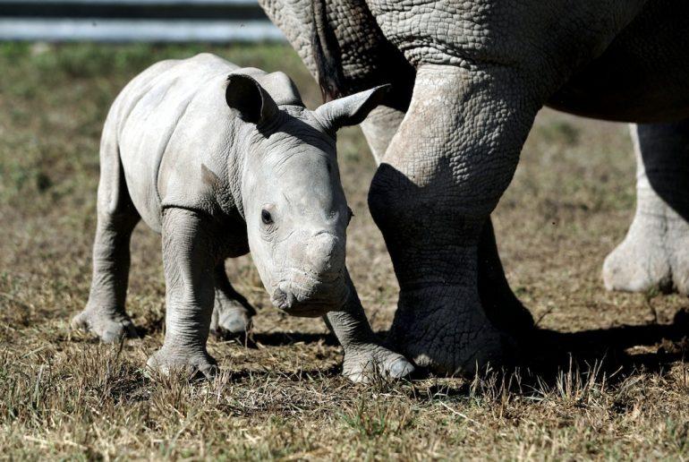 ¿Legalizar venta de cuernos de rinoceronte?