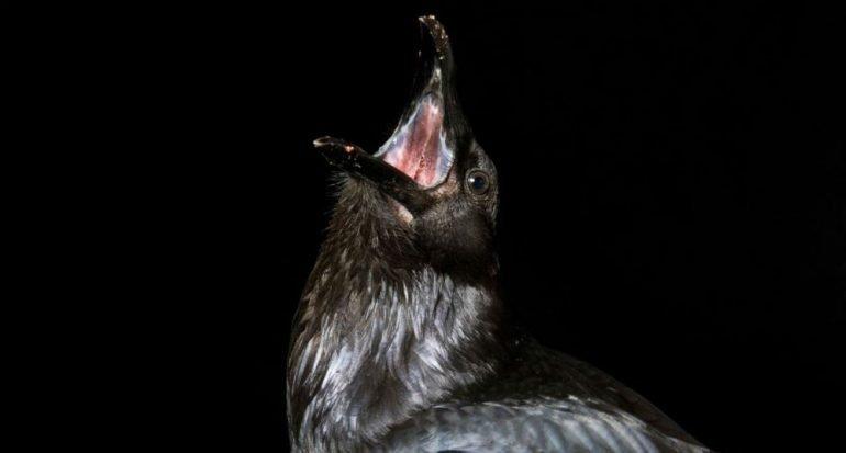 ¿Los cuervos celebran funerales para sus muertos?