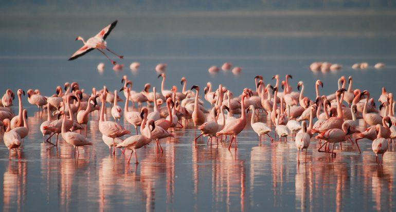 ¿Los flamencos nacen de color rosa?