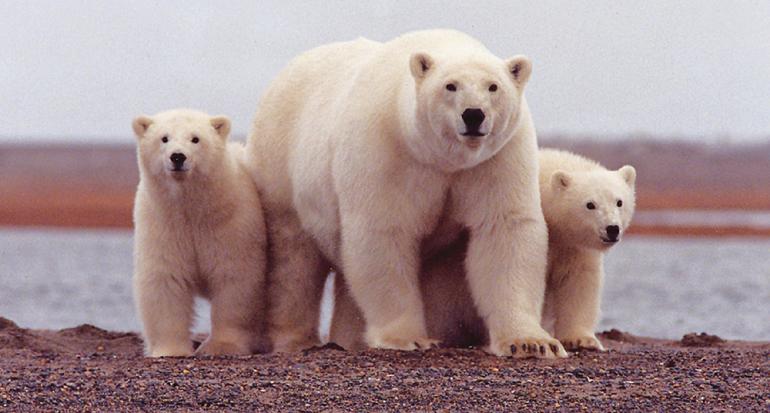 ¿Los osos polares realmente son blancos?