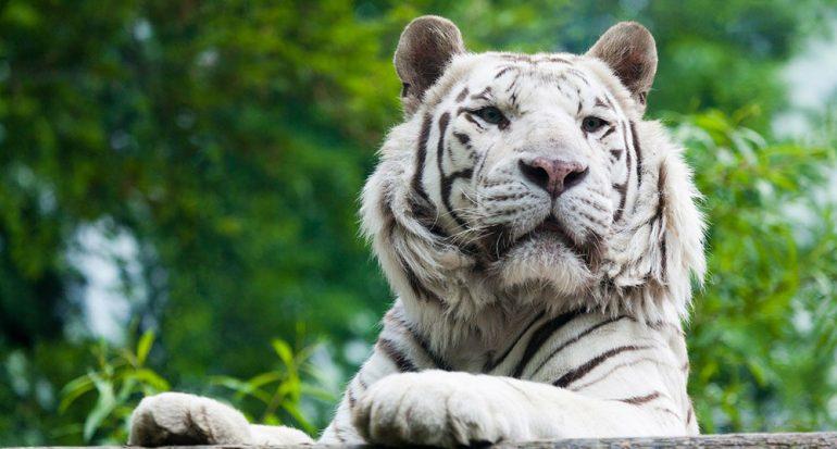 ¿Los tigres blancos son albinos?