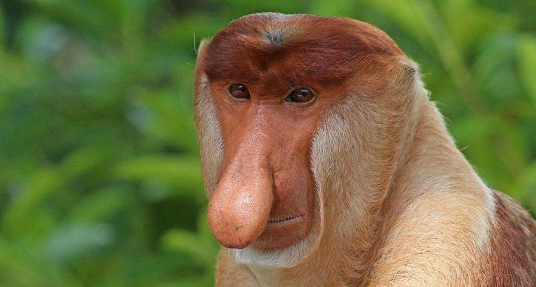 ¿Para qué usa su nariz el mono narigudo?