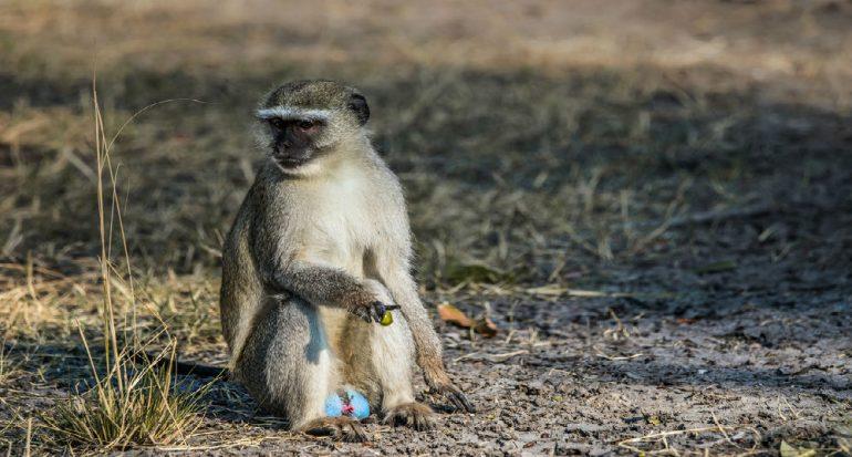 ¿Por qué algunos monos tienen los genitales azules?