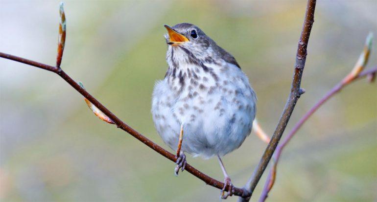 ¿Por qué es más dulce el canto de las aves pequeñas?
