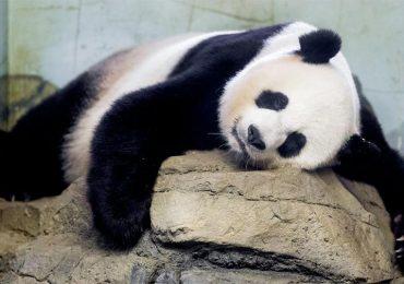 ¿Por qué es tan difícil que se reproduzcan los pandas?
