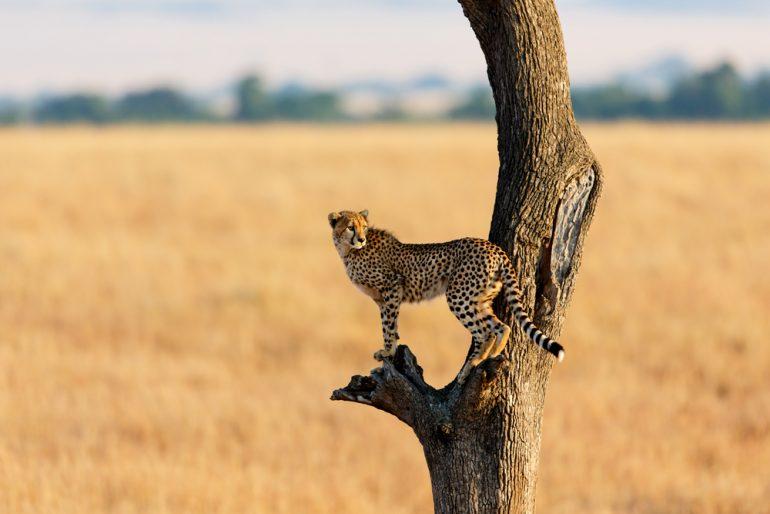 ¿Por qué hay menos guepardos?