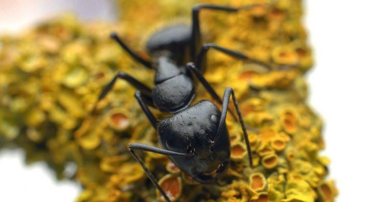 ¿Por qué las hormigas forman hileras?