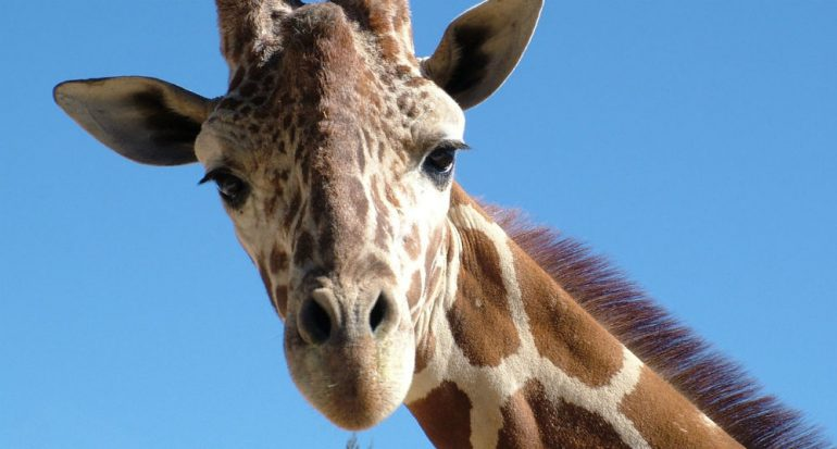¿Por qué las jirafas tienen el cuello largo?