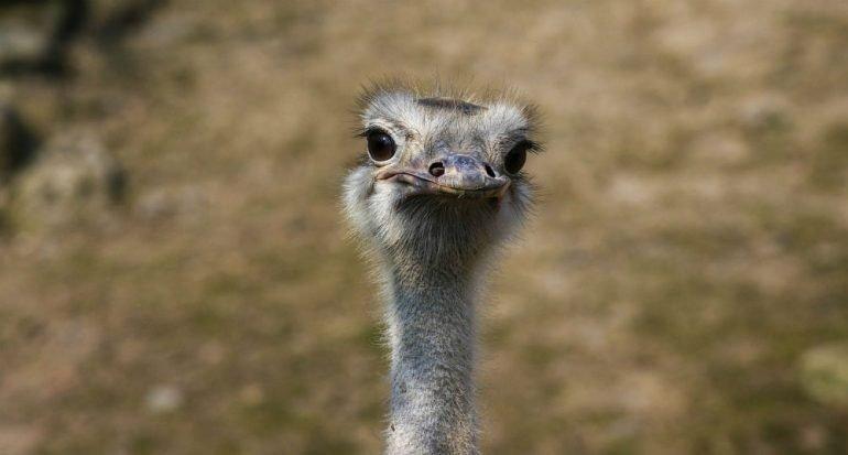 ¿Por qué los avestruces entierran la cabeza?