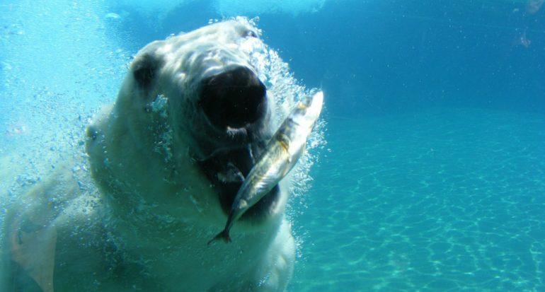 ¿Por qué los carnívoros osos polares no comen pingüinos?