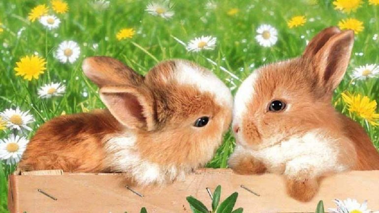 ¿Por qué los conejos frotan cosas con la barbilla?
