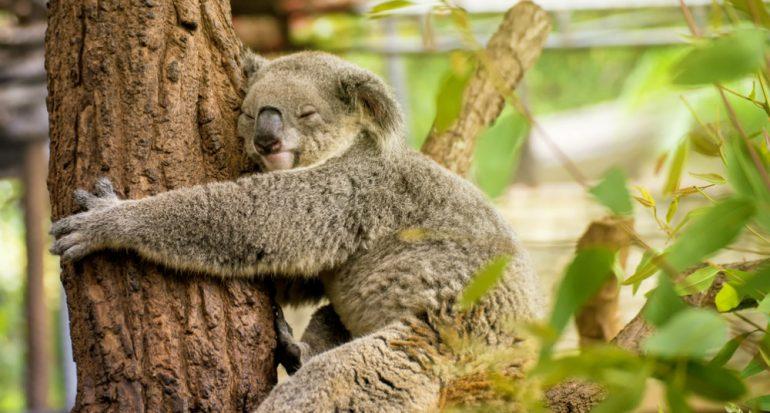 ¿Por qué los koalas se abrazan a los árboles?