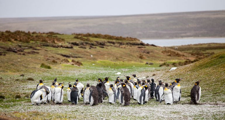 ¿Por qué los pingüinos no tienen orejas?
