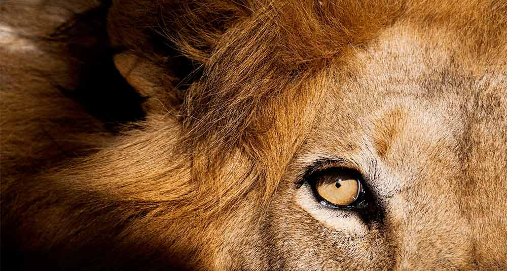 ¿Por qué un león mató a un turista en Sudáfrica?
