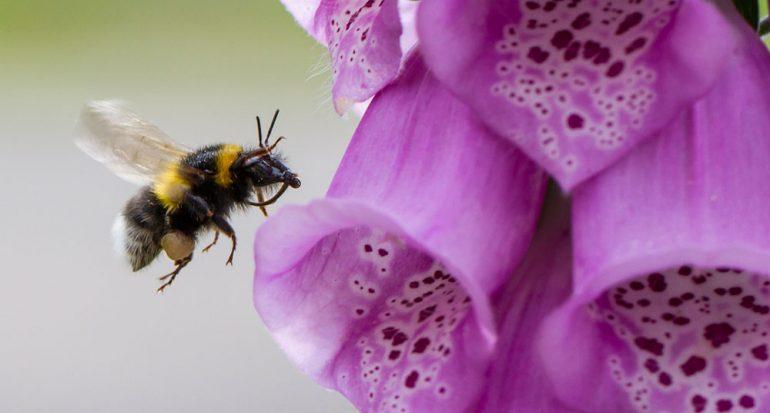 ¿Qué alimento de consumo diario polinizan los abejorros?
