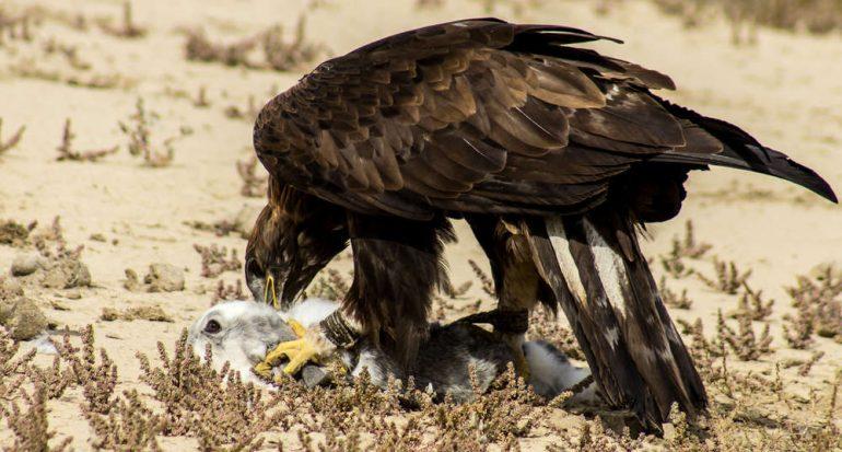 ¿Qué animales cazan las águilas?