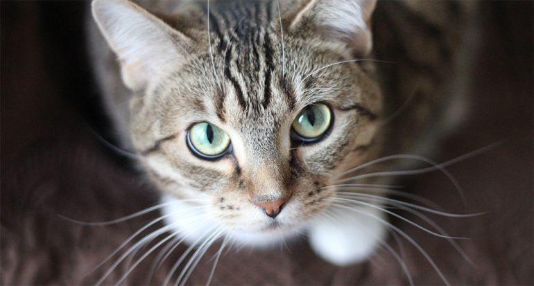 ¿Qué intentan decirnos los gatos? La ciencia lo explicará