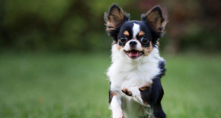 ¿Qué perro tiene el mejor oído?