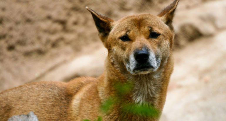 ¿Qué raza de perro puede cantar?