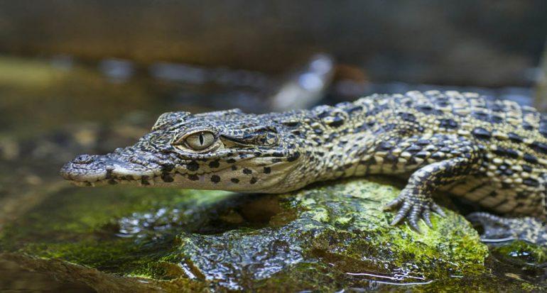 ¿Qué significa el llanto de las crías de cocodrilo?