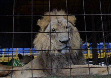 ¿Qué sucederá con los felinos circenses en Guatemala?