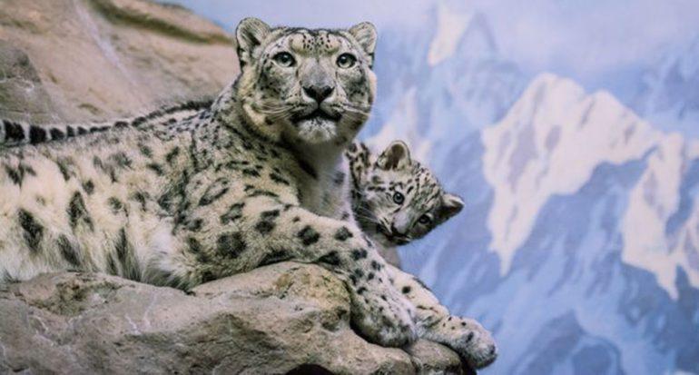 ¿Qué tan alto puede saltar un leopardo de las nieves?