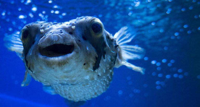 ¿Qué tan letal es el veneno del pez globo?