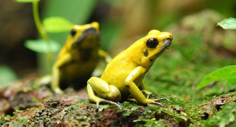 ¿Qué tan venenosa es la rana dardo dorada?