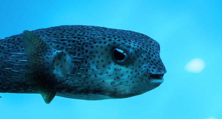 ¿Qué tan venenoso es un pez globo?