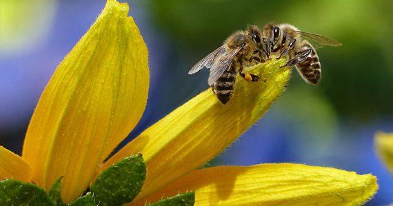 ¿Qué tipo de abeja produce más miel?