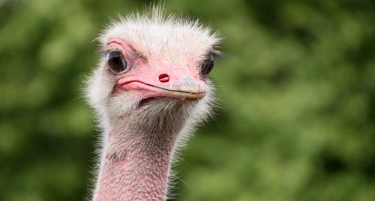 ¿Que aves tienen el ojo es más grande que su cerebro?