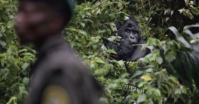¿Quién asesinó a los gorilas de Virunga?
