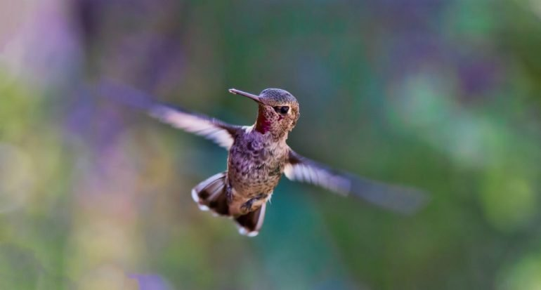 ¿Sabes cuántos aleteos por segundo hace el colibrí?