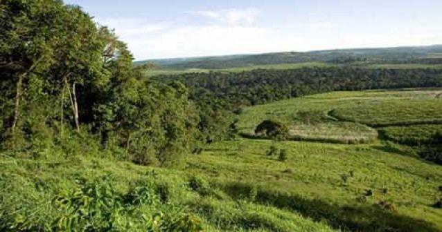 Árbol del sexo en peligro de extinción en Uganda