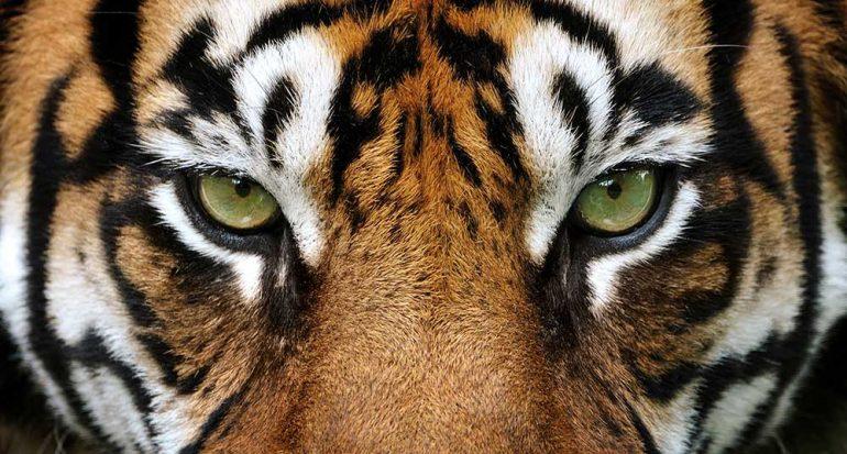 12 datos que quizá no sabías sobre los tigres