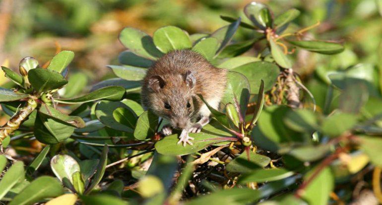 80 ratas evitan el veneno y se convierten en 100 mil