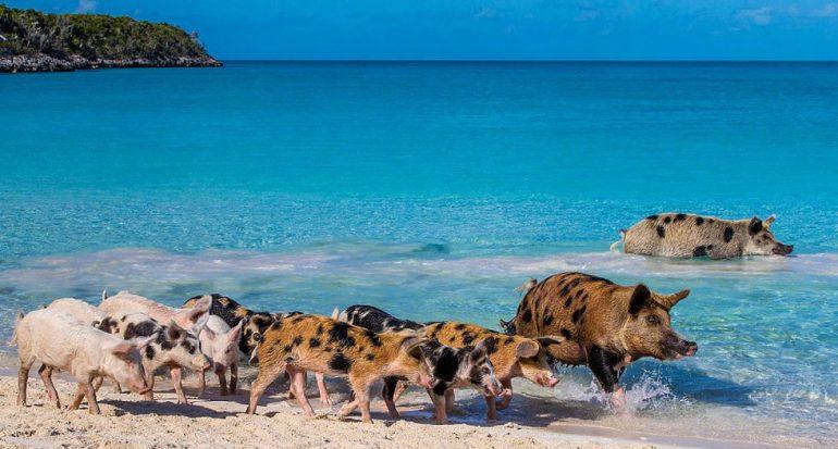 Adéntrate en la maravillosa isla de los cerdos