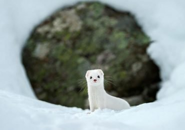 Antes y después: los animales cambian su pelaje para invierno