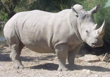 Atacan a famoso rinoceronte en un zoológico francés