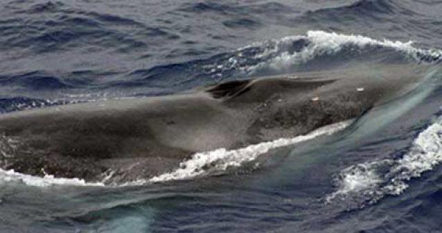 Ballenas de Islandia en peligro