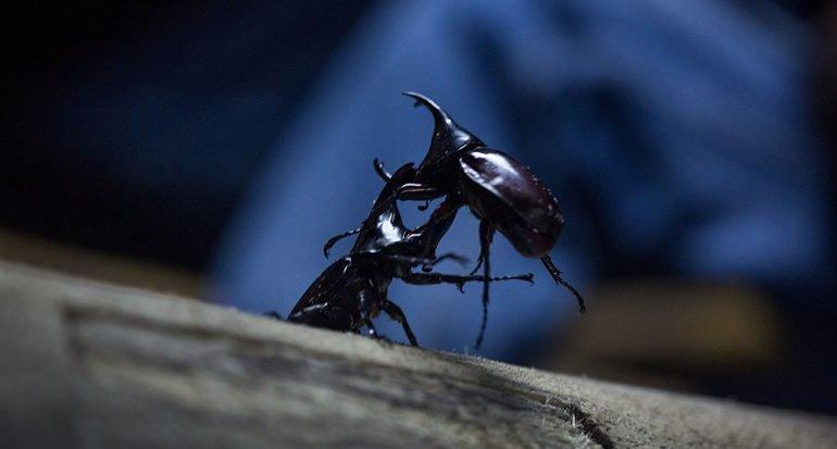 Batalla de escarabajos