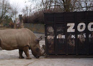 Buscan crear un rinoceronte blanco con el último que existe